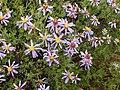 Felicia filifolia Gifberg 01.jpg