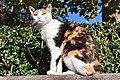Felis silvestris catus - Rapperswil Duftrosengarten 2011-10-23 15-27-32.jpg