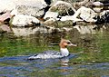 Female Goosander on the Aire - geograph.org.uk - 595358.jpg