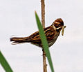 Female Reed Bunting 2 (7314675532).jpg