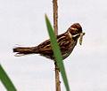 Female Reed Bunting 2 (7314675532).jpg