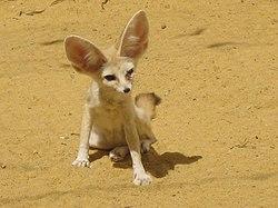 Renard des sables dans RENARD 250px-Fennec_fox