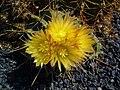 Ferocactus echidne 02.jpg
