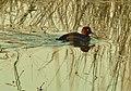Ferruginous Duck (Aythya nyroca).jpg