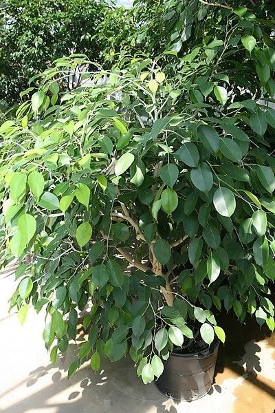 File:Ficus benjamina 10zz.jpg
