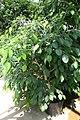 Ficus benjamina 10zz.jpg