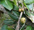 Ficus ingens, vye, Groenkloof NR.jpg