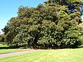 Ficus macrophylla (SRBG).jpg