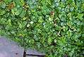 Ficus pumila 21zz.jpg