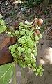 Ficus racemosa, Cluster fig 2.jpg