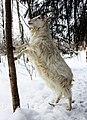 Finnish Landrace goat in winter.jpg
