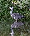 Fishing Heron (6130319694).jpg