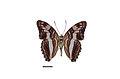 Flickr - ggallice - Adelpha capucinus (2).jpg