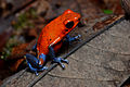 Flickr - ggallice - Strawberry dart frog (3).jpg