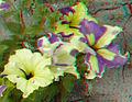 Flickr - jimf0390 - JimF 06-05-12 0013a flowers at Latham.jpg