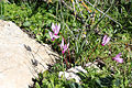 Flora of Israel IMG 4785 (12788195865).jpg