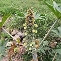 Flores y frutos de la higuerilla (Ricinus communis).jpg