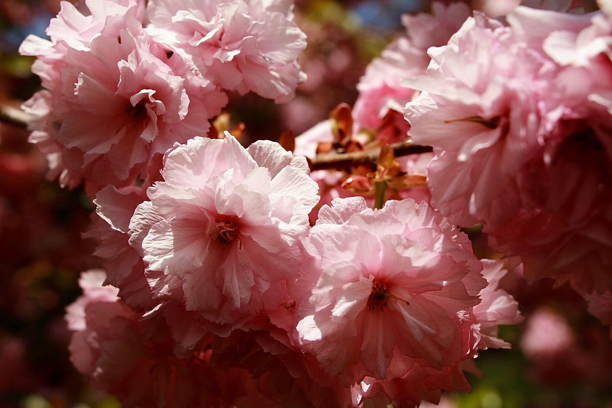 File Flowering Pink Tree Bloom Spring