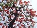 Flowering branches of flame tree (Delonix regia).jpg
