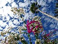 Flowers and Sky - San Jose del Cabo - Baja California Sur - Mexico - 02 (23511734143) (2).jpg