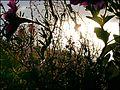 Flowers in the sun (8196647004).jpg
