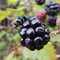 Fly on a blackberry, Sandy, Bedfordshire (9740988445).jpg