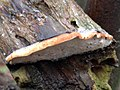 Fomitopsis pinicola 106974325.jpg