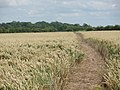 Footpath through the wheat field - geograph.org.uk - 494689.jpg