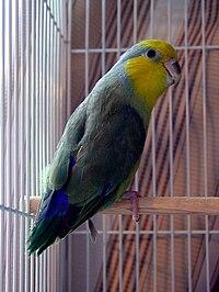 Forpus xanthops -AFA show bird-8a