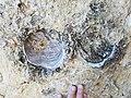 Fort Hays Limestone, Cremnoceramus deformis 20181124 153914.jpg