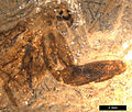 Fossil lacewing4.jpg