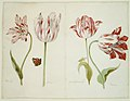 Four Tulips- Boter man (Butter Man), Joncker (Nobleman), Grote geplumaceerde (The Great Plumed One), and Voorwint (With the Wind) MET DR200.jpg