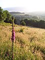Foxglove and meadow, Luddendenfoot - geograph.org.uk - 21761.jpg