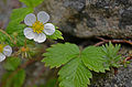 Fragaria vesca, San Juan Islands (14964181348).jpg