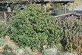 Frangula californica (Rhamnus californica) - Regional Parks Botanic Garden, Berkeley, CA - DSC04389.JPG