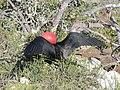 Frigatebirds - North Seymour Island - Galapagos Islands - Ecuador (4870567931).jpg