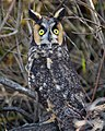 Frightened Long-eared Owl (28045676729).jpg