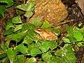 Frog Kurixalus IMG 0609 04.jpg