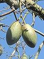 Fruits of Chorisia Monaco.jpg