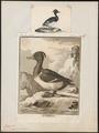 Fulix cristata - 1700-1880 - Print - Iconographia Zoologica - Special Collections University of Amsterdam - UBA01 IZ17700011.tif