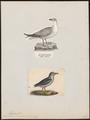 Fulmarus glacialis - 1700-1880 - Print - Iconographia Zoologica - Special Collections University of Amsterdam - UBA01 IZ17900080.tif