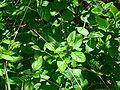 Género Stachytarpheta cayennensis, espécie Verbenaceae, Gervão (nome de planta popular no Brasil..JPG