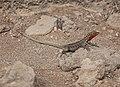 Galápagos Lava Lizard 02.jpg