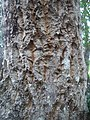 Galpinia transvaalica bark - Kirstenbosch Botanical garden - 1.jpg