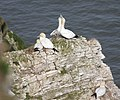 Gannets nesting above Scale Nab - geograph.org.uk - 1205031.jpg
