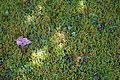 Garden lawn moss at Nuthurst, West Sussex, England 02.jpg