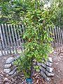 Gardenology.org-IMG 2586 ucla09.jpg