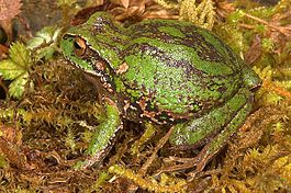 Gastrotheca excubitor.jpg