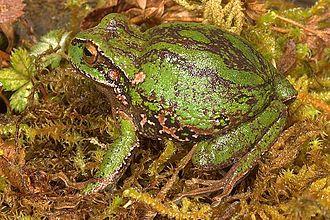 Amphignathodontidae - Gastrotheca excubitor