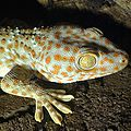 Gekko gecko (right side) by Robert Michniewicz.jpg